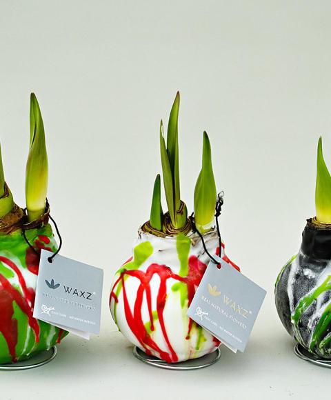 Amaryllis Waxz Art®