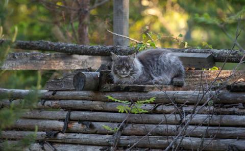 Ökad diabetesrisk för normalviktiga katter som äter torrfoder