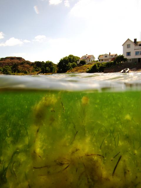Sjögräsäng på svenska västkusten