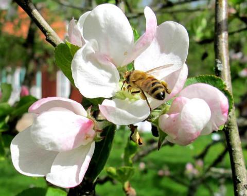Bin i äppellunden ökar skörden med 60–80 procent!