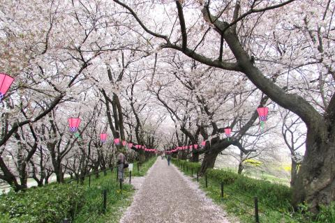 Satte Gongendo's bank of cherry trees(2)