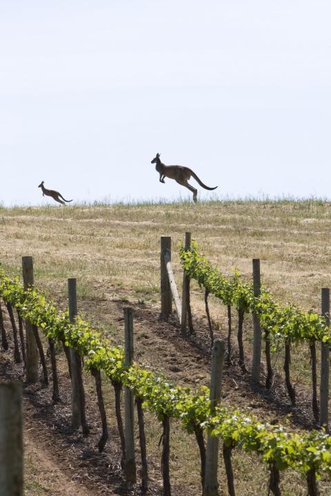 Rekordmange vil bli vinmakere i Australia