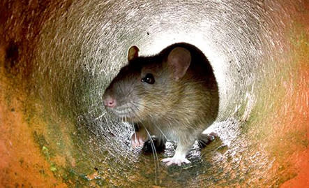 Råttor i avloppen, ett växande problem