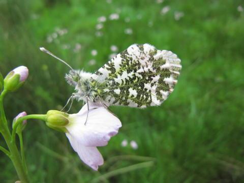 Fjäril vingad syns senare när vintern är kort