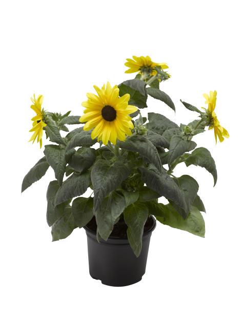 Plantagen lanserar solros som blommar om och om igen