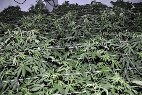 Cannabis Dismantling Team seize half a million pound cannabis farm in Speke