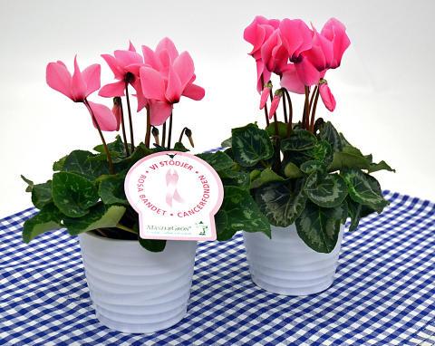 Dagens Rosa Produkt 25 oktober - en storblommig Cyklamen från Mäster Grön