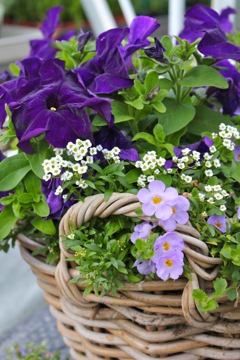 Sommarblomsplantering i blå toner