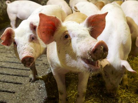 Atrian uusi sikahinnoittelu ei pienennä sikojen elintilaa