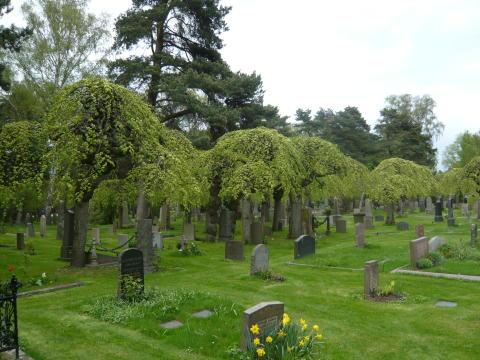 Sorgträd ett unikt kulturarv på våra kyrkogårdar