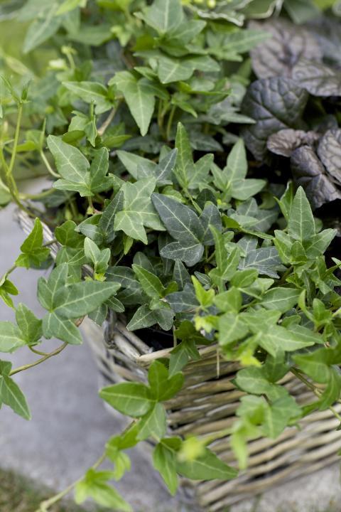 Murgröna och revsuga i korg