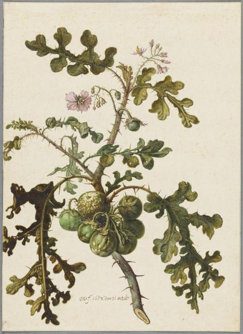Nyförvärv: En botanisk studie av Herman Saftleven