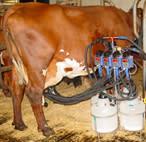 Sortera mjölk från olika spenar?