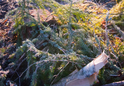 Forskning ska ge hållbart skogsbränsleuttag
