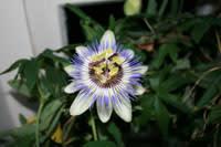 Passionsblomman veckans växt i påsk