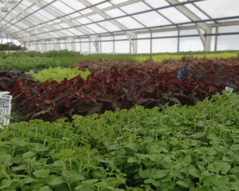 8 000 småplantor kommer till Karlstads kommuns växthus idag