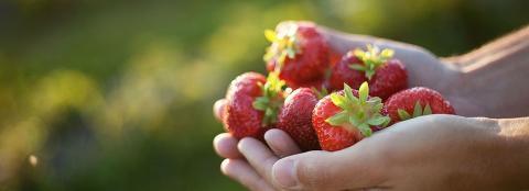 Lista: Här finns KRAV-märkt jordgubbar