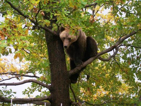 Illegale Abholzungen durch Schweighofer Gruppe führen zu Lebensraumverlust der Braunbären in Rumänien
