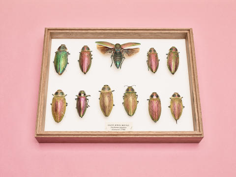 Felicity McCabe, 7 Euchroma gigantea (giant jewel beetles)