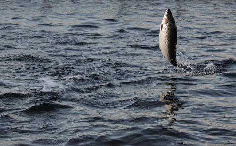 Salmon and their management – new perspectives under changed condtions