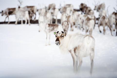 Reinsdyr-pa-vidda-vinter-
