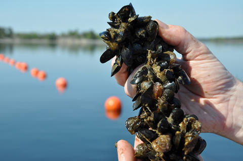Musselodling kan visst vara en effektiv miljöåtgärd i Östersjön
