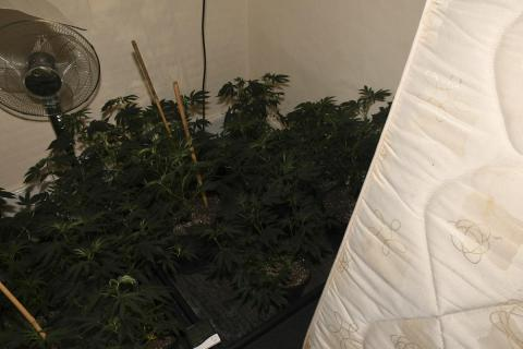 Cannabis farm worth more than £500,000 found following warrants in Birkenhead
