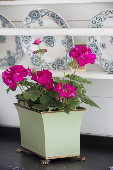 Pelargonium Drottningminne