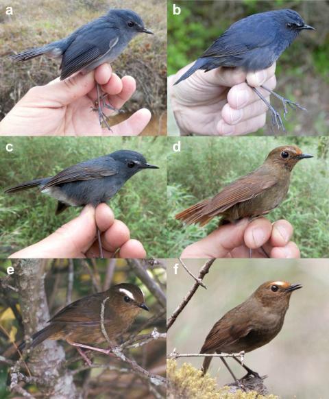 Blå kortvingen - inte en utan fyra separata arter