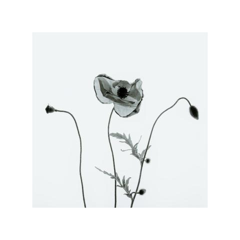 Paul Sanders, Poppies
