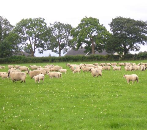 Irländska får