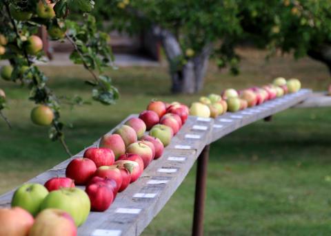 Äppelutställning