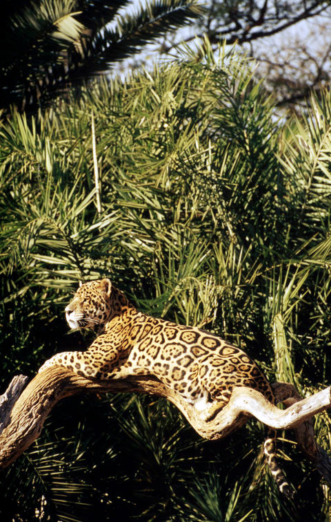 En jaguar i Amazonas, ett område hotat av sojaodlingarnas utbredning. Foto: Michel Gunther / WWF-Canon.