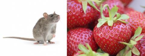 Din dofthjärna fungerar som en råttas