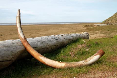 Mammoth tusk in northeastern Siberia