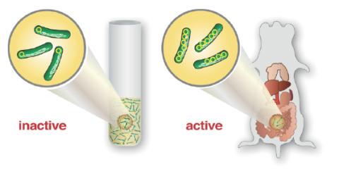Genmultiplicering – den snabba vägen till infektion