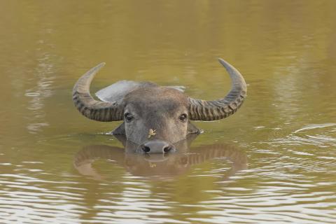 Vandbøfler genindsættes i naturen som rewilding i Ukraine