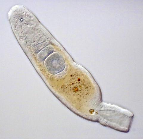 Diopisthoporus psammophilus