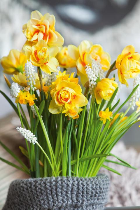 Narcissus Texas