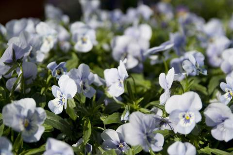 Hornviol - Viola cornuta 'Endurio'