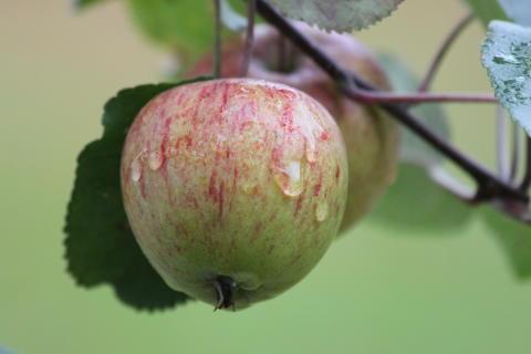 Äppeldagar med fruktutställning och sortbestämning