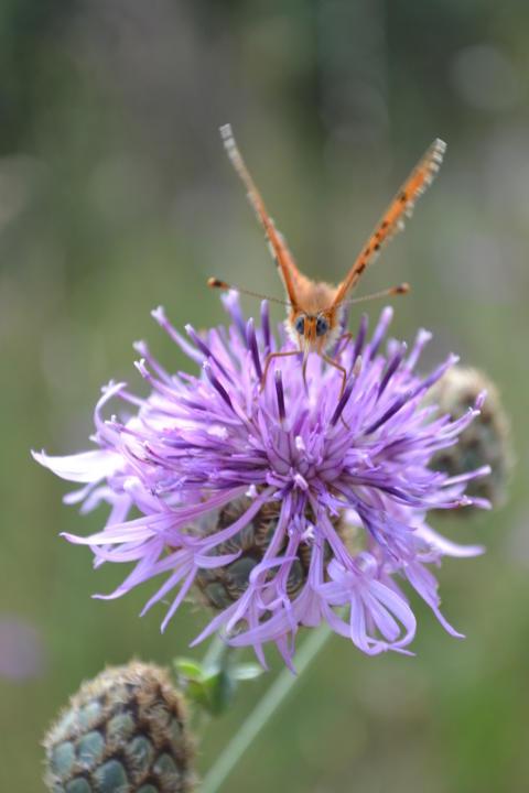 Fjärilar tycker om blommor rika på nektar.