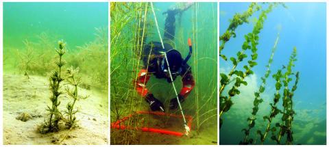 Östersjöns undervattensdjungler ger mer badvänligt vatten