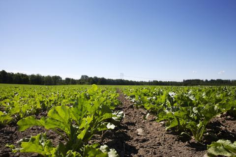 Sockerbetsfält