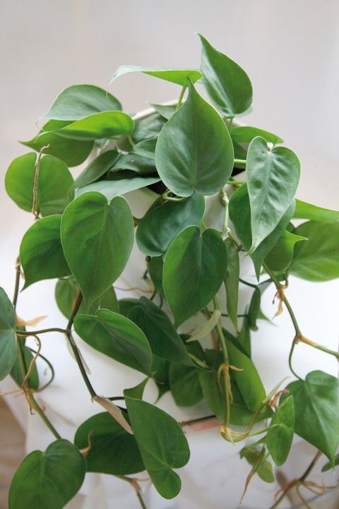 Klätterkalla, Philodendron hederaceum