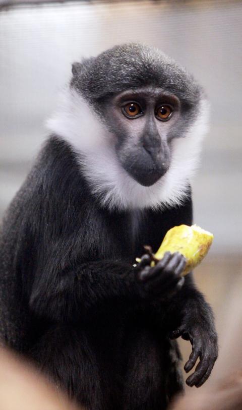 Parken Zoo först igen, ovanlig apa nytt djur