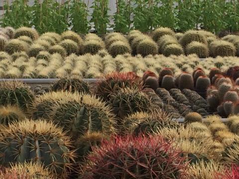 Pressinbjudan: Vem får pryda årets kaktusplantering?