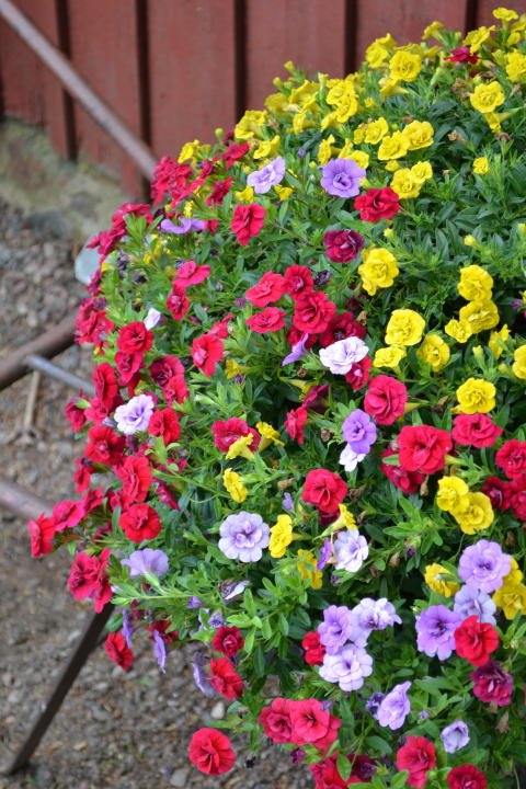Färgstark småpetuniamix
