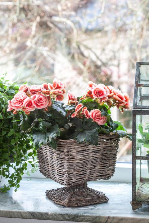 Vår på fönsterbrädan med begonia