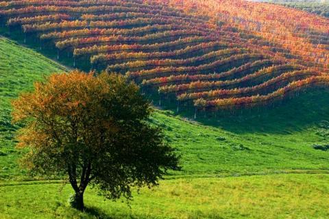 Nyhet med Temaresor: Tryffeljakt och vinvandringar i Piemonte